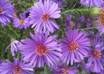 aster -